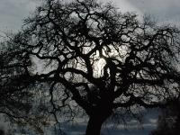 quercia-urbsalvia-copia