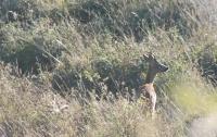 deer watching in Casentino 26-27.09.14