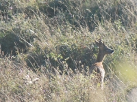 deer-watch-capr