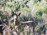 deer-watch-capr2