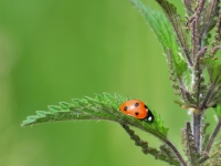 coccinell